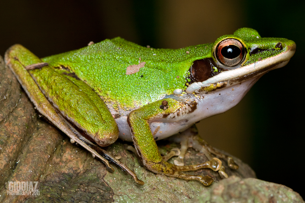 Copper Cheeked Tree Frog, Gio Diaz July 24, 2011