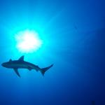Shark, Kronos Reef, US Fish and Wildlife Service January 22, 2012