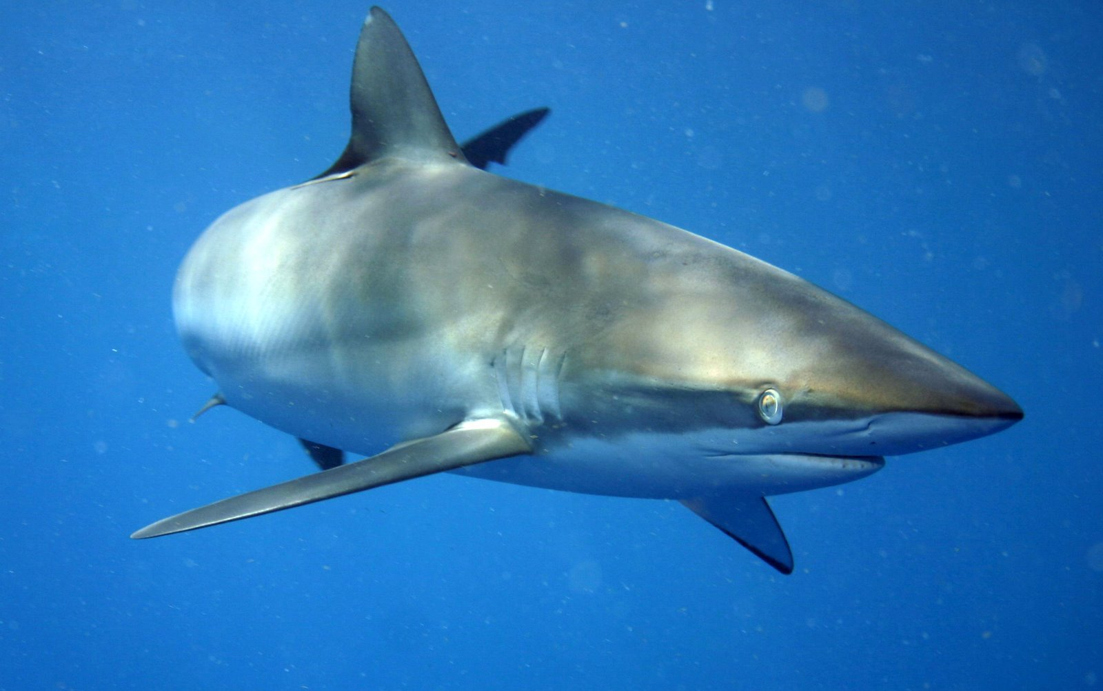 A Silky shark at Jardines de la Reina, Cuba