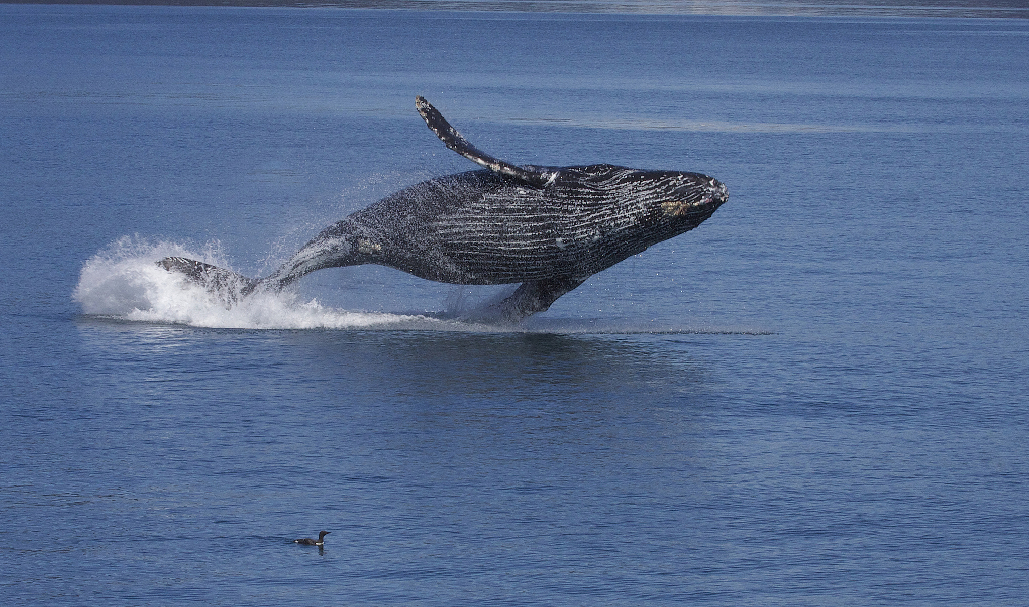 "Breaching Humpback Whale (Megaptera novaeangliae), Gregory ""Slobirdr"" Smith, June 12, 2013"