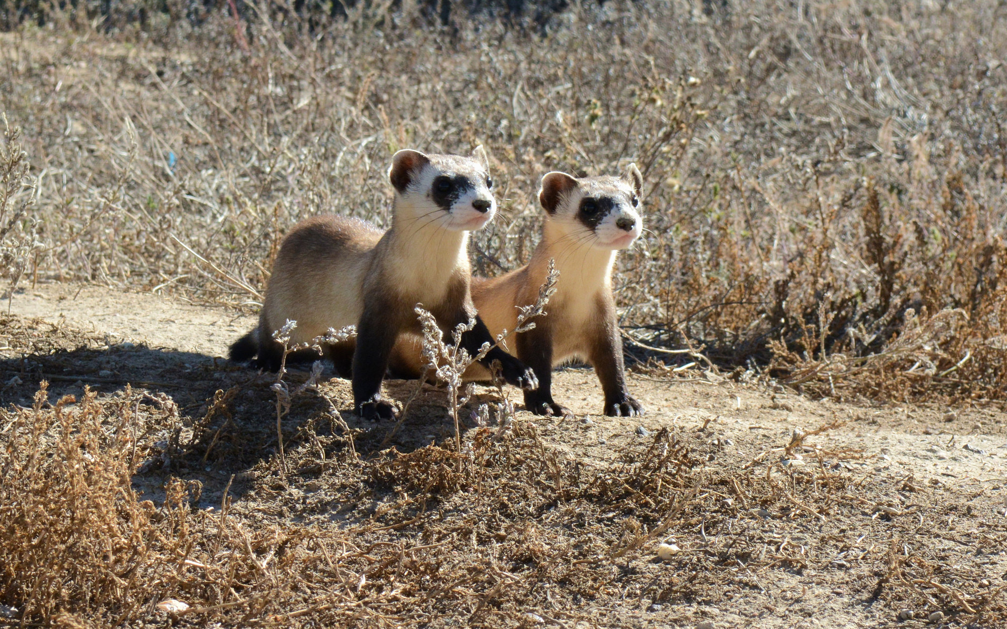 Black-footed Ferret Kits, USFWS Mountain-Prairie January 16, 2015