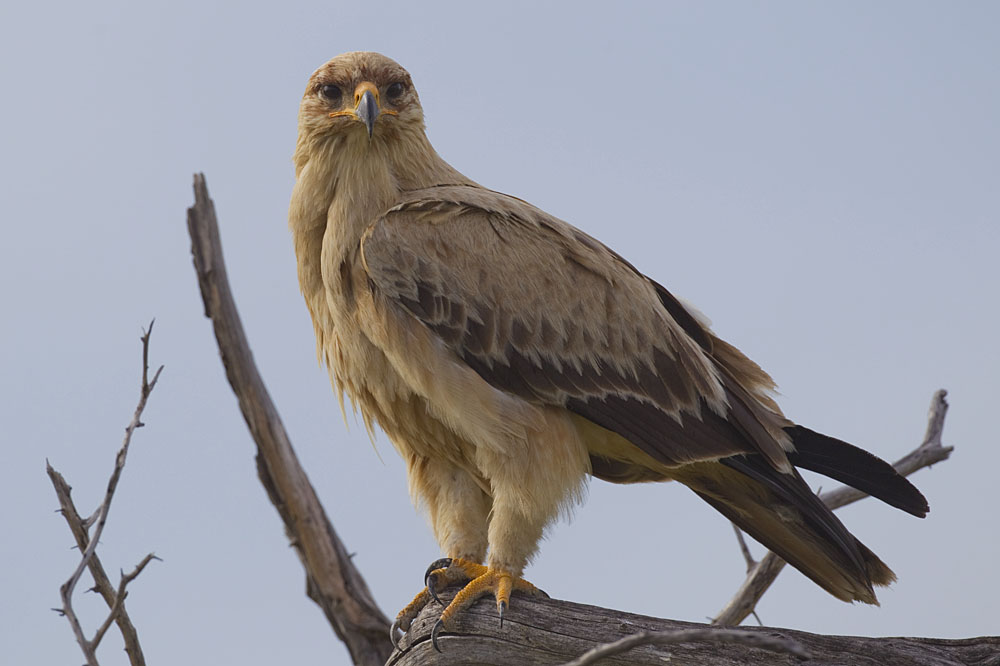 Tawny Eagle, Credit: Wikimedia Commons