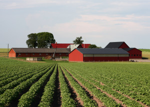 Potato field in Sweden., Credit: Wikimedia Commons
