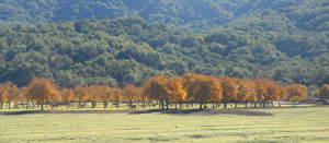 Fall Color in Ojai Valley2, Chuck Abbe December 6, 2010