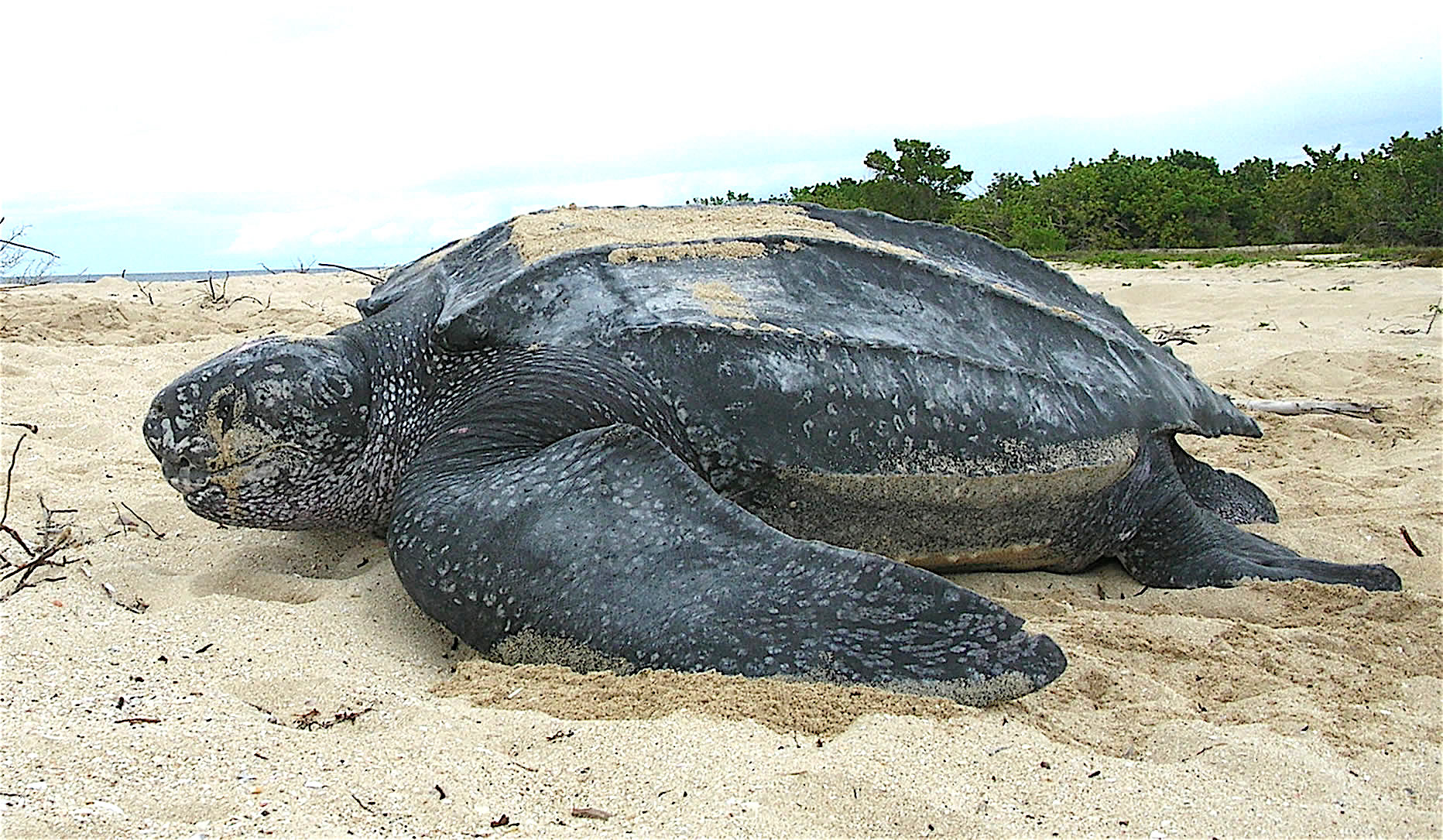 Leatherback Sea Turtle, Credit: Wikimedia Commons